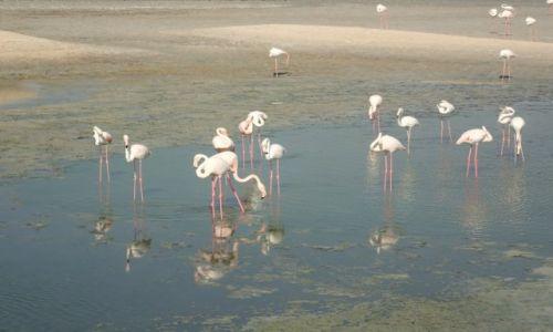 Zdjęcie ZJEDNOCZONE EMIRATY ARABSKIE / Dubaj / Ras Al Khor / Flamingi