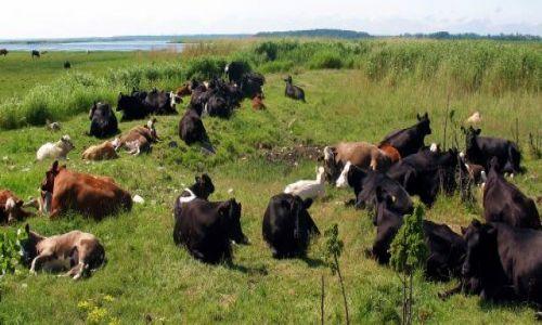 ESTONIA / brak / Wyspa Hiuma / Popołudniowe przeżuwanie krów