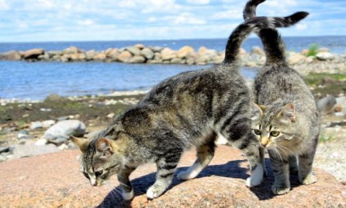 Zdjęcie ESTONIA / Płn Estonia / piekne ;) / Nadmorskie koty
