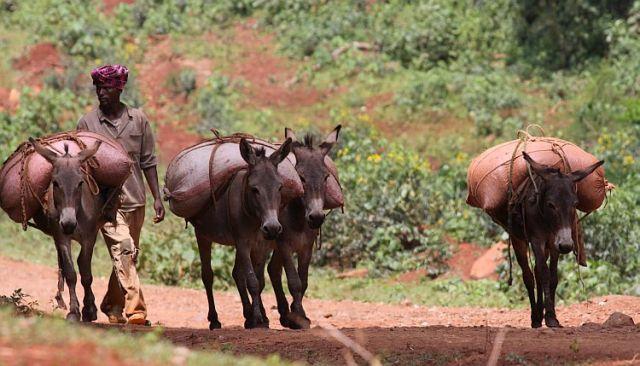 Zdjęcia: Harena Forest, Bale Mountain, Transport kawy, ETIOPIA