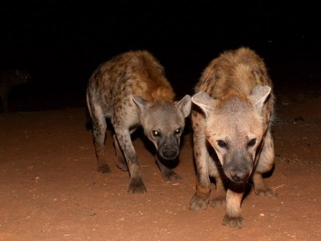 Zdjęcia: Harar, Prowincja Hareri, Hieny z Hararu, ETIOPIA