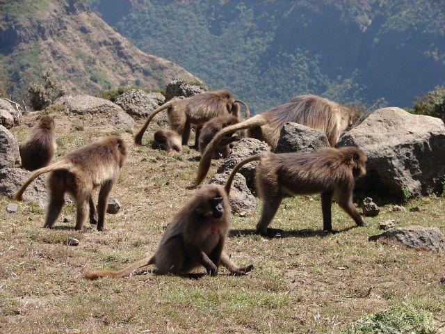 Zdjęcia: Góry Simen, -Etiopia Północna , Góry Simen - stado dżelad , ETIOPIA