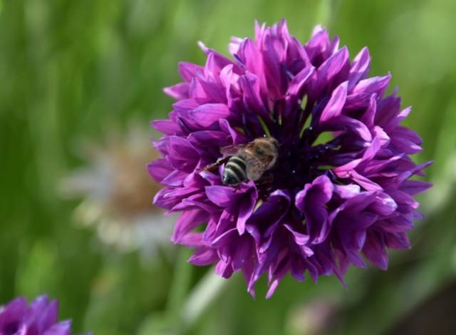 Zdjęcia: różnie :-), Dolina Omo, Skoro wiosna, to kilka kwiatków z Etiopii, ETIOPIA