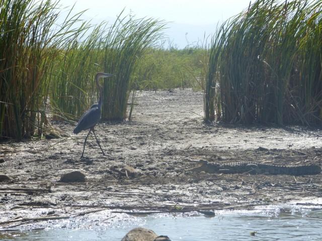 Zdjęcia: Jezioro Chamo, Jezioro Chomo, Jezioro Chamo -miłość, szmaragd i krokodyl, ETIOPIA