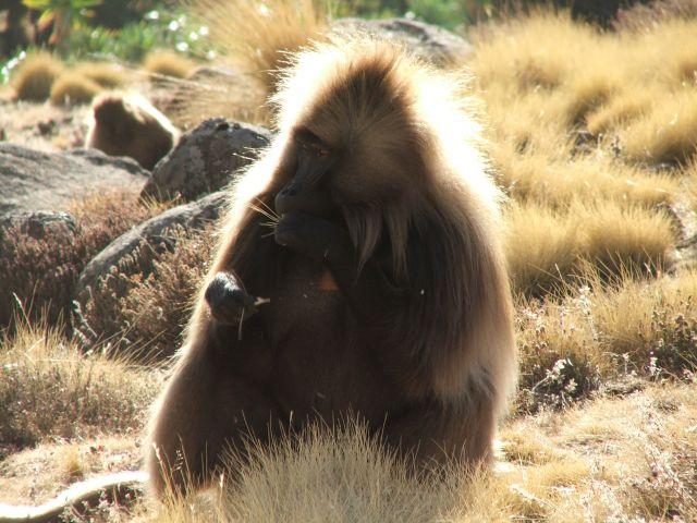 Zdjęcia: Siemen Mountains, Góry Siemen, Czas coś przekąsić, ETIOPIA
