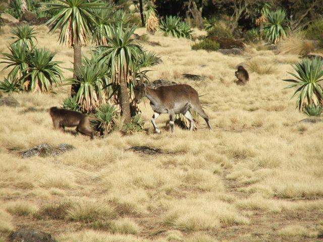 Zdjęcia: Siemen Mountains, Góry Siemen, Parka, ETIOPIA