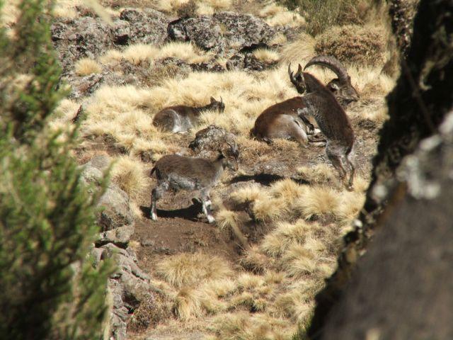 Zdjęcia: Siemen Mountains, Góry Siemen, Bo Ci z byka przy...!, ETIOPIA