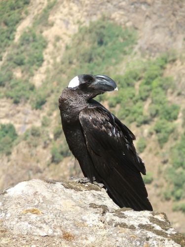Zdjęcia: Siemen Mountains, Góry Siemen, Wkurzające ptaszydło, ETIOPIA