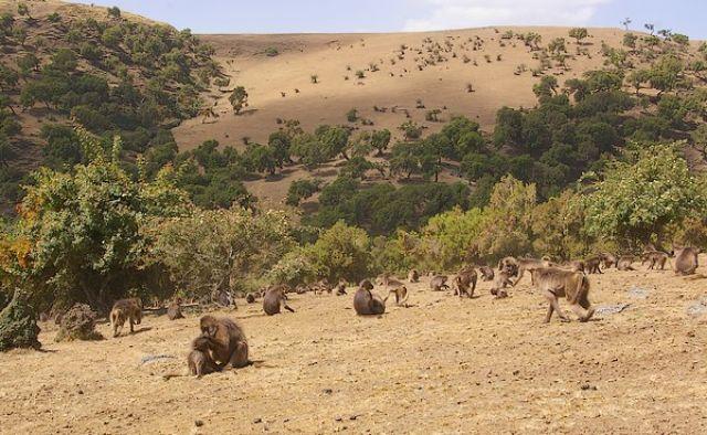 Zdjęcia: Siemen Mountains, Północna Etiopia, Gelady Krwawiące Serce w naturalnym otoczeniu, ETIOPIA
