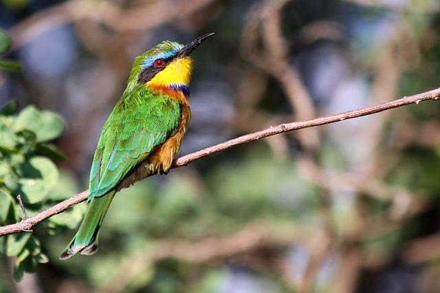 Zdjęcia: Awash, Awash, Żołna mała, ETIOPIA