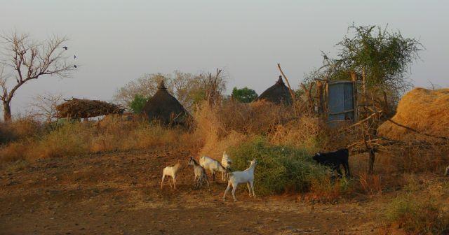 Zdjęcia: Etiopia, Etiopia, Kozy, ETIOPIA