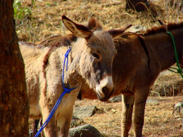 Zdjęcia: Gandor, Gandor, Osioł  , ETIOPIA