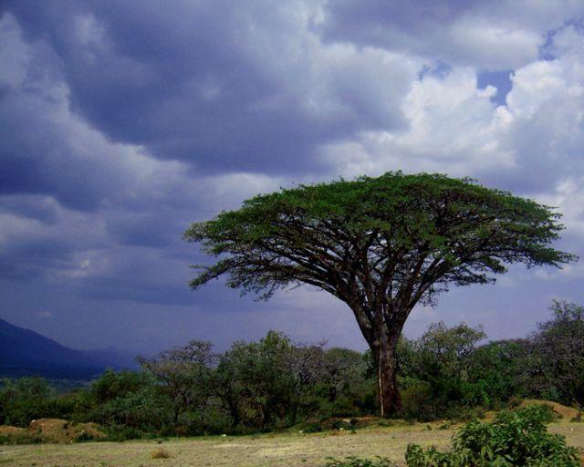 Zdjęcia: Park Narodowy Mago, pd. Etiopia, Akacja, ETIOPIA