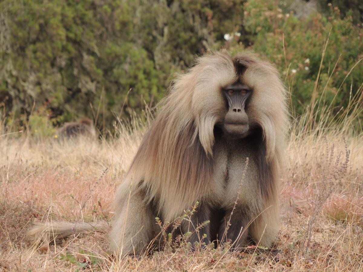 Zdjęcia: Park Narodowy Semien, Góry Semien, Dżelada, ETIOPIA
