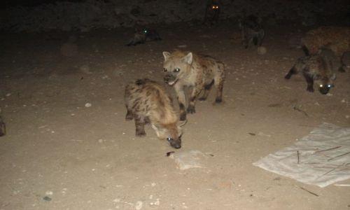 Zdjecie ETIOPIA / Harari / Harar / Hieny po karmieniu