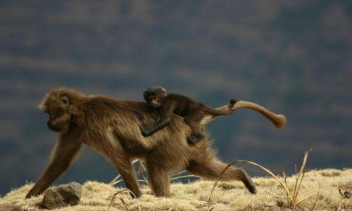Zdjecie ETIOPIA / Południe kraju / Park Narodowy / Małpie figle