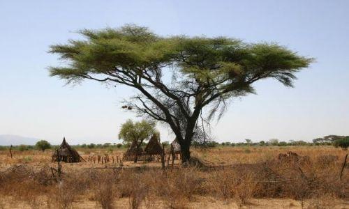 Zdjęcie ETIOPIA / Mago / Park Narodowy / Drzewo