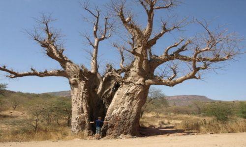 Zdjecie ETIOPIA / Środkowa Etiopia / Na sawannie / Baobab