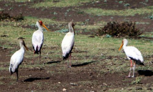 Zdjęcie ETIOPIA / Amhara / Debra Sina / Żabiru, bocian siodlasty