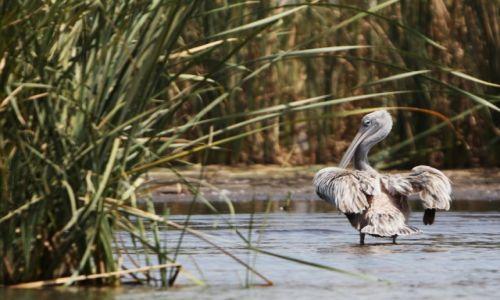 Zdjęcie ETIOPIA / Dolina Omo / Jezioro Chamo / W szuwarach