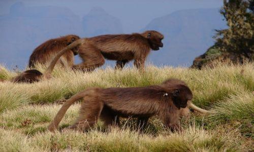 Zdjecie ETIOPIA / -Etiopia Północna  / Góry Simen / Góry Simen - stado dżelad