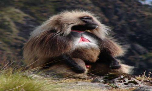Zdjęcie ETIOPIA / -Etiopia Północna  / Góry Simen / dżelada - samiec