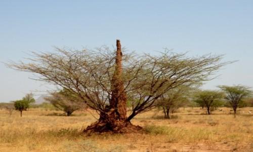 ETIOPIA / Południe  / Dolina Omo  / Termitiera pasożytująca w drzewie