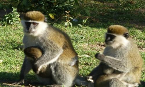 Zdjęcie ETIOPIA / Dolina Omo / Chamo Lake / Małpki  z parku przy Chamo Lake