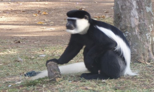 Zdjęcie ETIOPIA / Dolina Omo / Chamo Lake / Małpka z parku przy Chamo Lake