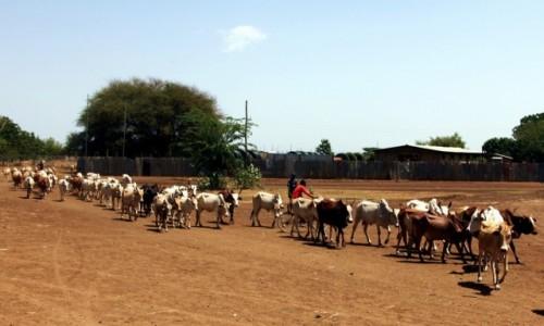 Zdjęcie ETIOPIA / Dolina Omo / Omorate / Uwaga krowy
