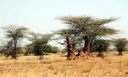 Zdjecie ETIOPIA / Dolina Omo / Okolice wioski plemienia Nyangatom / Kopce termitów