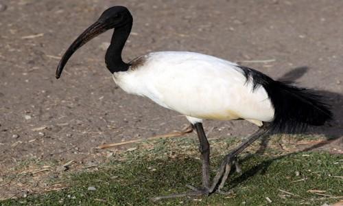 Zdjecie ETIOPIA / Dolina Omo / Jezioro Zeway  / Ibis, w staroży