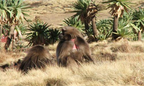 Zdjęcie ETIOPIA / Góry Siemen / Siemen Mountains / Baboonsy- pierwsze spotkanie