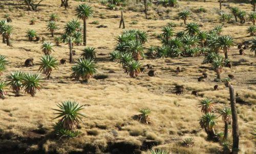 Zdjecie ETIOPIA / Góry Siemen / Siemen Mountains / Stado