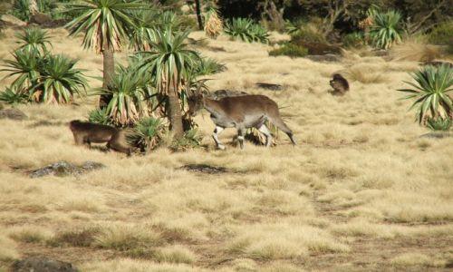 Zdjęcie ETIOPIA / Góry Siemen / Siemen Mountains / Parka