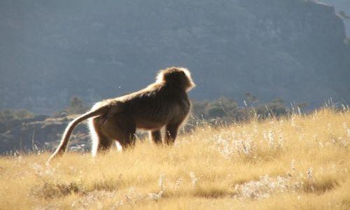 Zdjęcie ETIOPIA / Góry Siemen / Siemen Mountains / Zadumany