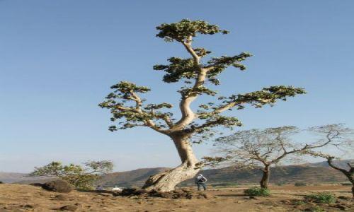 ETIOPIA / Bahir Dar / Bahir Dar / Drzewo