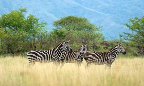 Zdjecie ETIOPIA / Południowa Etiopia / Nechisar National Park / Zebry stepowe