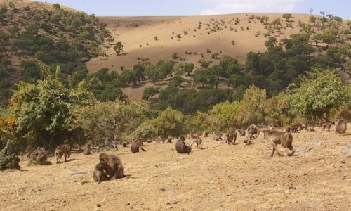 ETIOPIA / P�nocna Etiopia / Siemen Mountains / Gelady Krwawi�ce Serce w naturalnym otoczeniu