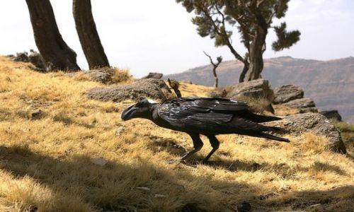 ETIOPIA / P�nocna Etiopia / Siemen Mountains / Kruk grubodzioby (z�odziejaszek)
