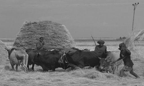 Zdjęcie ETIOPIA / Północna - środkowa Etiopia / gdzieś po drodze / Zwierzęce oddzielacze ziarna od plew