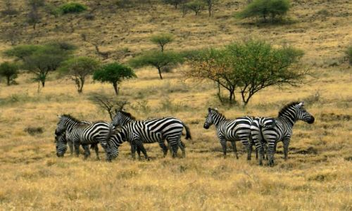 Zdjęcie ETIOPIA / pd. Etiopia / Nechisar National Park / Zebry