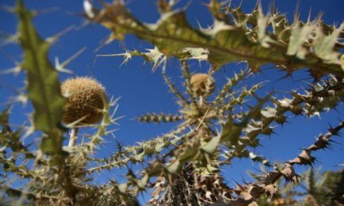 Zdjecie ETIOPIA / brak / Park Narodowy Simen / etiopska roslin