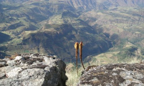 Zdjecie ETIOPIA / Amhara / szlak Sankaber-Geech/Simien / Samotne kwiatki