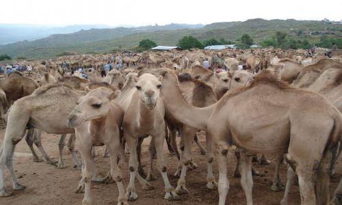 Zdjęcie ETIOPIA / Harari / Babile / Wielbłądowisko