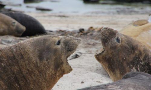 Zdjęcie FALKLANDY / carcas island / carcas island / dwie kobiety