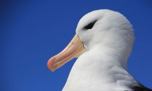 Zdjęcie FALKLANDY / new island / new island / Albatros