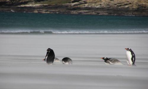 Zdjęcie FALKLANDY / saunders island / saunders island / w piachu i wietrze