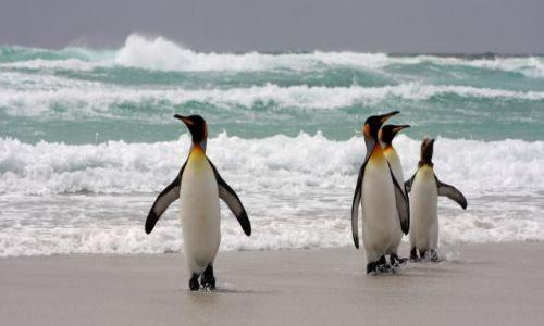Zdjęcie FALKLANDY / Falklandy/Malwiny / Volunteer Point / pingwiny