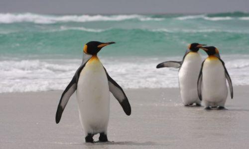 Zdjęcie FALKLANDY / Falklandy/Malviny / volunteer Point / pingwiny 2
